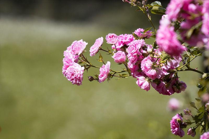 Osnovna podela ruža – najvažnije stvari koje treba znati o njima